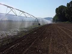 Mottura Società Agricola, Agricola Gorini - Civitella D'Agliano (VT) - Irrigazione a goccia per bagnare la coltura nel periodo estivo 25.09.2019 foto piccola